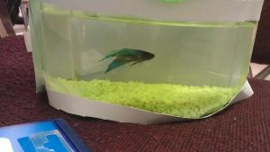 Just another day in the psych lab... I had video, but it's not formatted properly, and our betta was lazy anyways